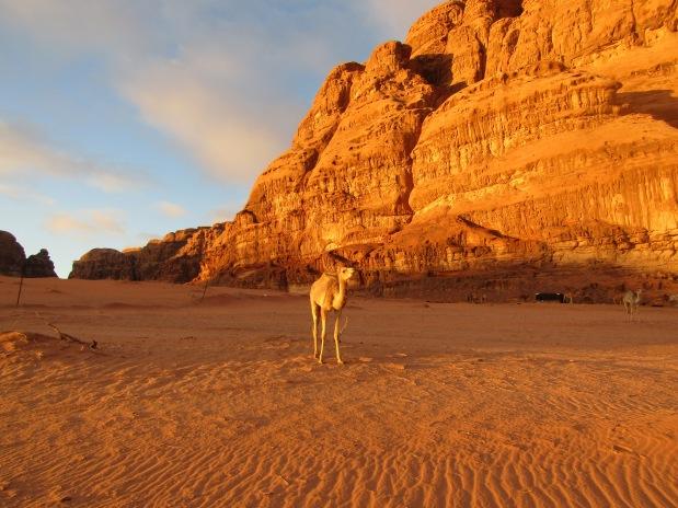 giordania cammello wadi rum