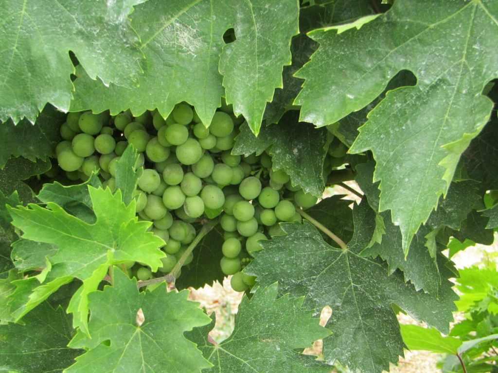 montepulciano uva