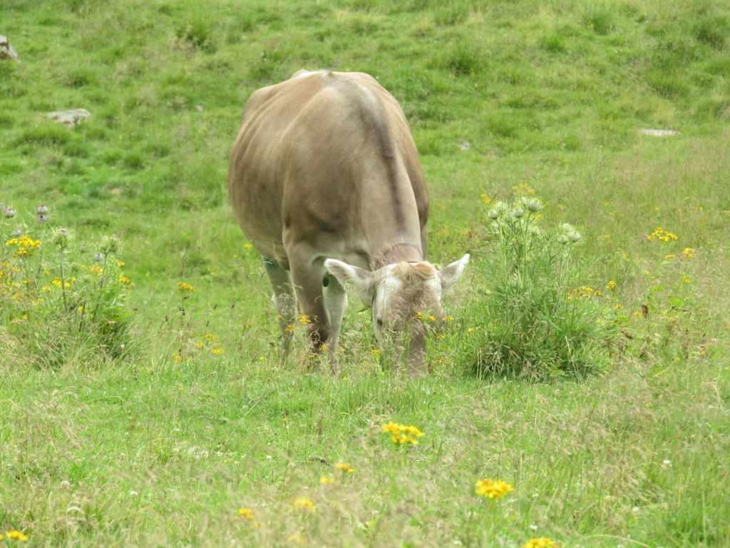 mucche pascolo trentino